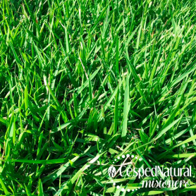 Césped brasilero  - Esmeralda - Natural en alfombra